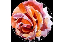 Blushing Peach Roses