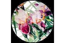 Iris Vivaldi Spring